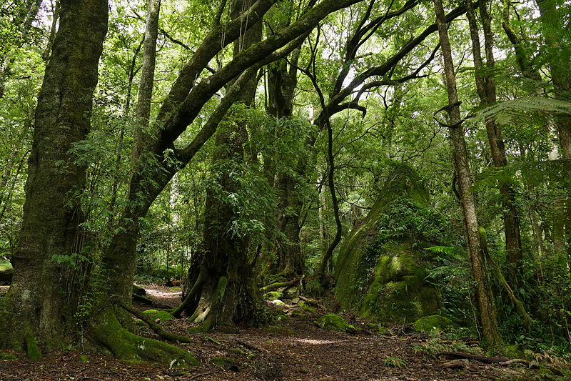 File:Mount Gulaga temperate rainforest-1.jpg
