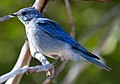 Mountain Blue Bird 6 (8045048321).jpg