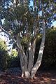 Mountain Gum (Eucalyptus Dalrympleana) (2872946220).jpg