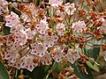 Mountain Laurel Kalmia latifolia 'Olympic Wedding' Young Old Flowers 3264px.jpg