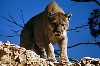 Cougar Large cat of the family Felidae native to the Americas
