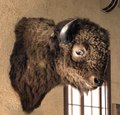 Mounted buffalo head at the Hotel Paisano in Marfa, Texas LCCN2014631197.tif