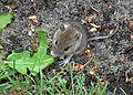 Mouse eating leaf.JPG