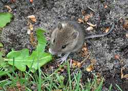 Mouse eating leaf.JPG