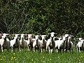 Moutons de l'Ain 01.jpg
