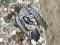 Mrtva grlica (Streptopelia turtur) dead European Turtle-dove.jpg