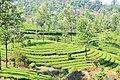 Munnar Tea Plantations (221058273).jpeg