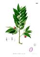 Muntingia calabura Blanco2.425.png