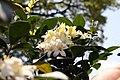 Murraya paniculata Lakeview 12zz.jpg