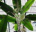 Musa paradisiaca susp.seminifera 1.jpg