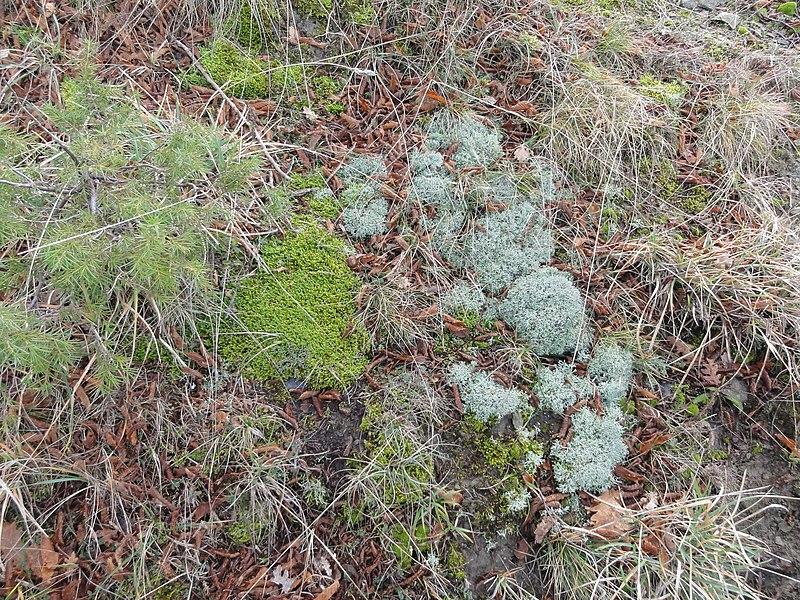 File:Muschi e licheni - panoramio.jpg