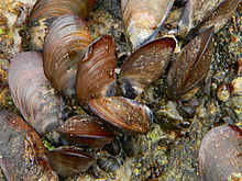 Mussel in rock.jpg