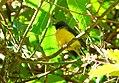 Myioborus miniatus (Abanico carinegro) - Flickr - Alejandro Bayer.jpg