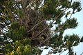 Myiopsitta monachus -nests-8d.jpg