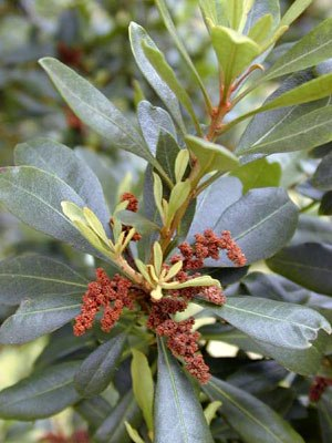 Myrica faya - Myrica faya foliage and male catkins