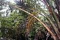 Myroxylum balsamum 3zz.jpg
