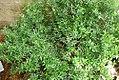 Myrtus communis 8zz.jpg