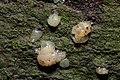 Myxarium nucleatum 58160403.jpg