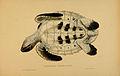 N256 Sowerby & Lear 1872 (eretmochelys imbricata).jpg