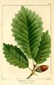 NAS-009f Quercus montana.png