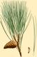 NAS-134g Pinus resinosa.png