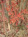 Nandina domestica leaves.JPG