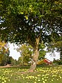 Nantes GrandBlottereau Maclura pomifera.jpg