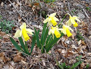 Description de l'image  Image:Narcissus_pseudonarcissus2.jpg .