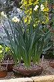 Narcissus tazetta GotBot 2015 002.jpg