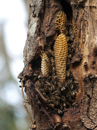 Beehive - Natural bee colony in the hollow of a tree