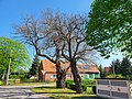 Naturdenkmale Maulbeerbaum 1 und 2 Caminchen (2).jpg