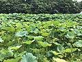 Nelumbo nucifera in north moat of Fukuoka Castle 22.jpg