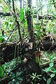 Nepenthes truncata plant.jpg