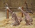 Netzgiraffen - Reticulated giraffe - Giraffa camelopardalis reticulata.jpg