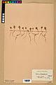 Neuchâtel Herbarium - Alyssum alyssoides - NEU000021948.jpg