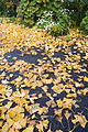 New Zealand - Fallen ginkgo leaves - 9237.jpg