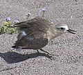New Zealand Dotterel.jpg
