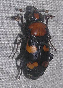 An orange and black beetle pinned to a board