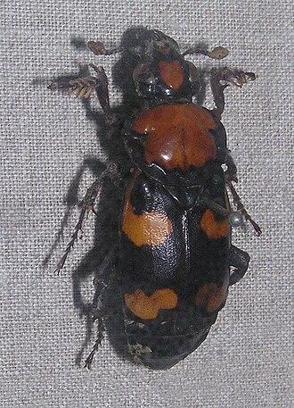 Nicrophorus americanus - Image: Nicrophorus americanus Sankt Peterburg