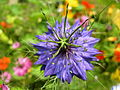 Nigella damascena purple.jpg