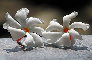 Night Jasmine Flower, Assam, India, শেৱালী ফুল, অসম, ভাৰত IMG 5246.jpg