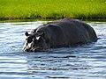Nijlpaard in de Chobe Rivier (6558978199).jpg