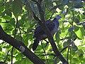 Nilgiri Wood-pigeon, Kamataka, India.jpg