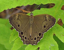 Northern Pearly-eye, dorsal, Larose Forest.jpg