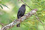 Northern black flycatcher (Melaenornis edolioides lugubris).jpg