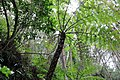 Northern limit of Hego habitat in Hachijojima Island I.jpg