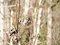 Northern pygmy owl (af9341f196c04b27939be11bb8522ed9).JPG
