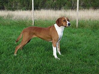 Hygen Hound - Image: Norwegian Hygenhound