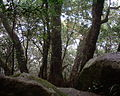 Nothofagus moorei in Lamington National Park Australia.jpg