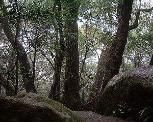 Lophozonia moorei - Antarctic beech trees in Lamington National Park